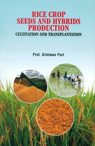 Rice, crop seeds and hybrids production: cultivation and transplantation